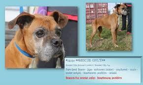 boxer dog rescue boxers needing rescue home facebook