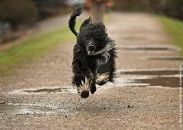 affenpinscher qualities portugese water dog