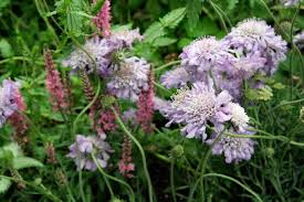 Salvia Flower Pincushion Flower Common Types Of Salvia Flowers Annual And
