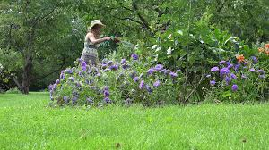 villager woman in dress and hat watering blue aster flowers in