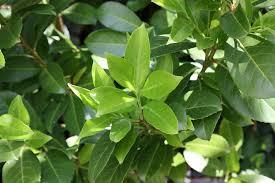 kletterpflanzen fã r balkon immergrüne geißschlinge geissblatt lonicera henryi blühende