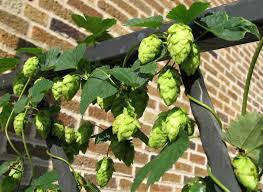 plants native to wisconsin clean hop program seeks to beat disease and better bitter beer