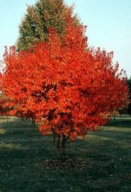 ohio buckeye is a dense deciduous tree with a more or less rounded