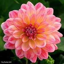 dahlias flowers pink dahlia jpg dahlia