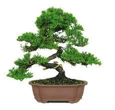 the green mound juniper bonsai tree from nursery tree wholesalers