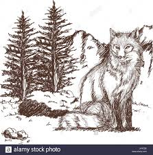 wolf wildlife animal image is hand drawn pencil sketch of wolf