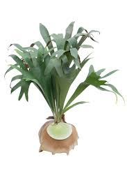 Fern Decor by Rock Mounts For Staghorn Ferns U2013 Can Staghorn Ferns Grow On Stones