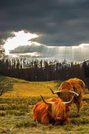 386 best cute animals images on pinterest animals highland