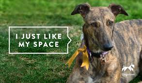 dog ribbon a yellow ribbon to a dog s collar or leash is an indication