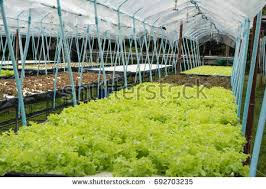 horticulture garden growing lettuce plants inside stock photo