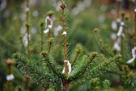 christmas season christmas tree farms long island sensational