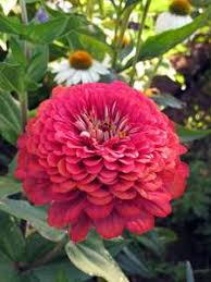 heirloom flower ornamental plant seeds heritage and heirloom seeds