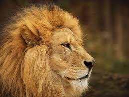 imagenes de leones salvajes gratis leones hd fondos animales fondos de pantalla gratis