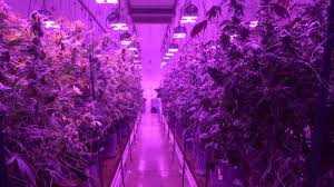 commercial led grow lights led grow lights boost cannabis quality and yields at silver state