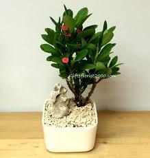 indoor plants singapore bonsai live plants plants gifts singapore