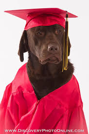 dog graduation cap and gown cedar the service dog chocolate lab graduation cap gown