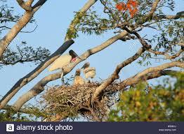 Tropical Dry Forest Animals And Plants - jabiru stock photos u0026 jabiru stock images alamy