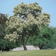 chestnut trees from stark bro s chestnut trees for sale