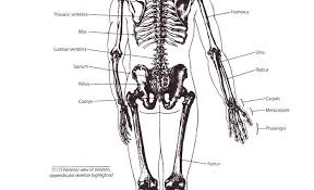 human skeletal system diagram worksheets www oustormcrowd com
