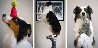australian shepherd 200 cohen the dog who knows 200 tricks u2013 dogs and pups magazine