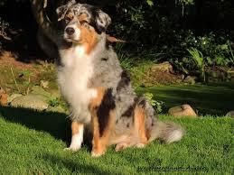 australian shepherd 1 jahr gewicht aussies weserbergland aussies coonies