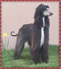 afghan hound sale afghan hound puppies for sale soon gwich u0027in afghan hounds