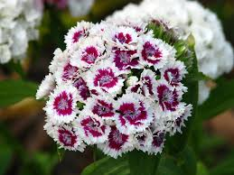 sweet william flowers dianthus barbatus