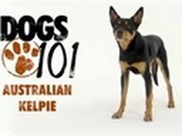 belgian sheepdog dogs 101 dogs 101 belgian malinois 3 70 mb aimp3