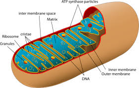 labeled white blood cell diagram diagram gallery wiring diagram