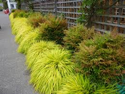 all gold japanese forest grass monrovia all gold japanese