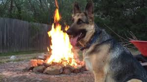 german shepherd at a backyard campfire youtube