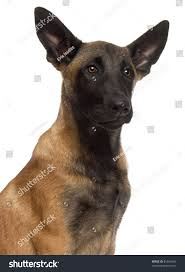 belgian shepherd 6 months close up of belgian shepherd dog 4 months old in front of white