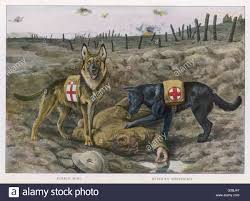 belgian shepherd rescue dogs two red cross rescue dogs a german shepherd at this date stock
