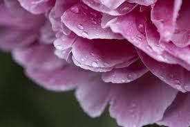 Peony Flowers Flowers Similar To Peonies Hunker