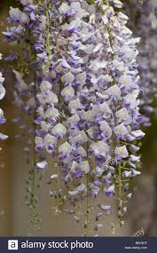 wisteria sinensis australian bush flower white wisteria stock photos u0026 white wisteria stock images alamy