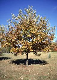 trees of ohio chestnut