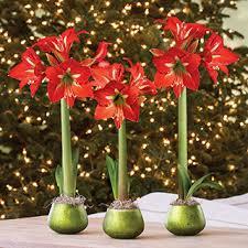 amaryllis gifts