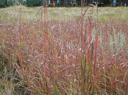 native colorado plants a splendor of native grasses this lively earth blog by priscilla