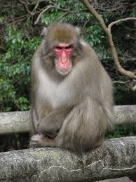 native japanese plants japanese macaque wikipedia