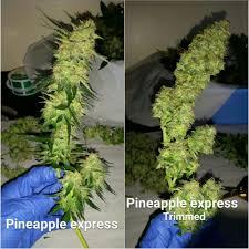 growing autoflower with led lights pineapple express autoflower 2 grow journal by organicalphapak420