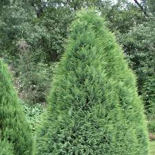 chamaecyparis lawsoniana pottenii lawsons cypress pottenii conifer