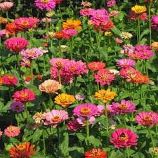 zinnia flower zinnia asia seeds