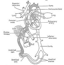 respiratory system coloring page gallery of respiratory system
