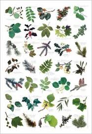 rogers trees and shrubs fabulously useful site for identifying