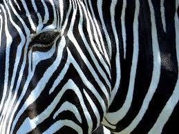 pattern formation zebra natures pattern photography 35 outstanding photos noupe