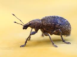 tiny brown bugs in my kitchen cabinets how to get rid of weevils in pantries and cupboards
