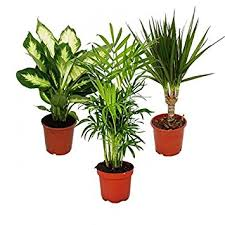 green plants indoor plant mix ii 3rd sets 1x dieffenbachia 1x chamaedorea