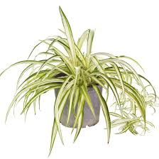 Spider Plant 10 Low Maintenance Plants Perfect For Non Green Thumbs Brit Co