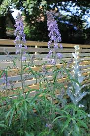 native plants at csu dominguez 77 best flower seeds ideas images on pinterest flower seeds