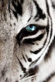 white tiger blue